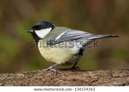 Close up side view of a great tit facing left - stock photo