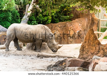 Close-up side view of Southern white rhinoceros (Ceratotherium Simum) or rhino in the zoo. It is a big mammal with long horn from Southern Africa and Democratic Republic of the Congo. - stock photo