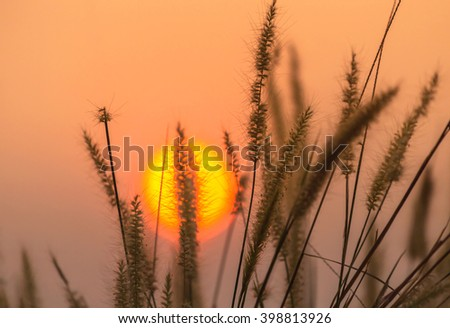 Close up silhouette setaceum pennisetum fountain grass on sunset background. - stock photo