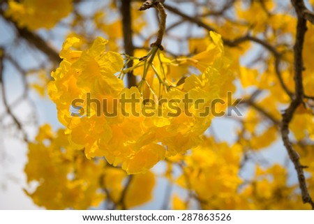 close up Silver trumpet tree, Tree of gold,Paraguayan silver trumpet tree - stock photo