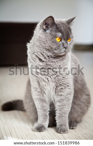 close-up sitting gray british shorthair cat