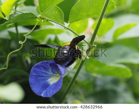 close up small garden insect on butterfly pea blue flower nature background - stock photo