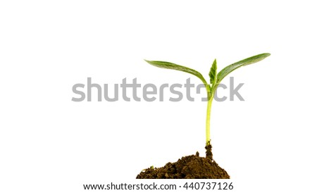 Close-up small green young plant growing up from black heap soil over isolated white background. Green spout for save/safe conservation environment. Organic growing, clean ecosystem concept. Panorama. - stock photo