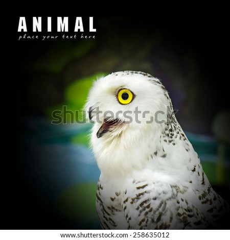 Close-up snowy owl - stock photo