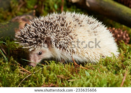 Close up Solo Light Brown Spiny Hedgehog Animal on Grassland with Sticks. Captured in studio. - stock photo