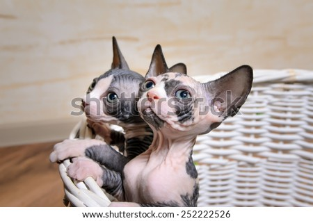 Close up Sphynx Kittens Inside a Basket at the House Looking Up with Wide Open Eyes - stock photo