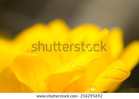 Close up sunflower blooming with drop waters - stock photo
