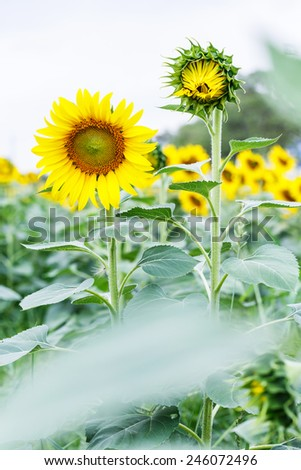 Close up sunflower flower in large field - stock photo