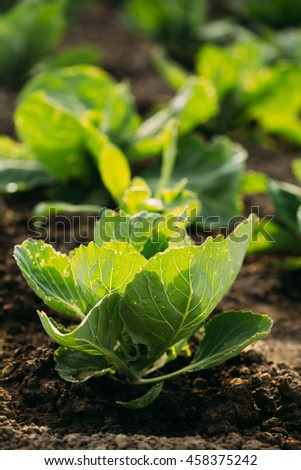 Close Up Sunny View Of The Green Vernal Sappy Seedlings Plants Of Cabbage Or Brassica Oleracea Planted In Open Ground Soil At The Garden Bed In Spring. - stock photo