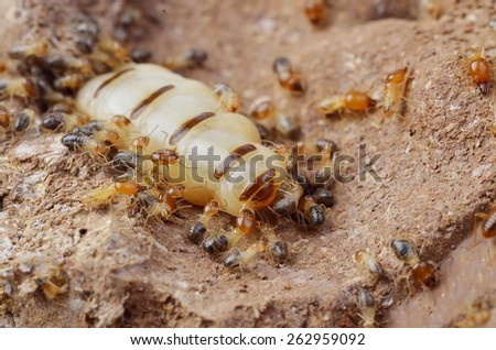 Close up termites or white ants , Thailand - stock photo