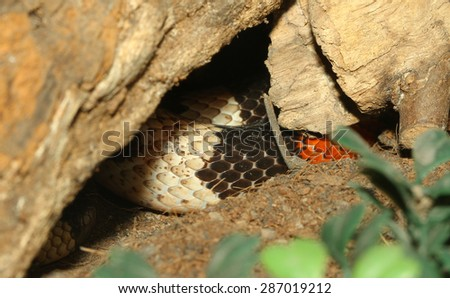 Close up THE Mexican milk snake Hidden in a cave - stock photo