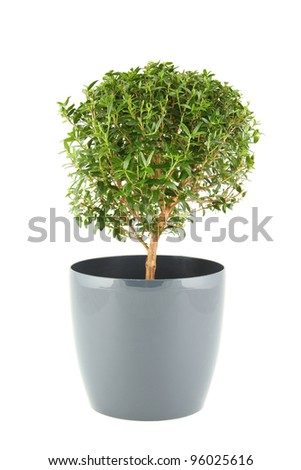 Close-up the myrtle tree in in flowerpot. Plant in a pot. Isolated on white background - stock photo
