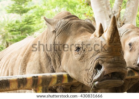 Close up the white rhinoceros  - stock photo