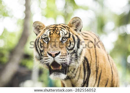 Close up Tiger in jungle the danger animal. - stock photo