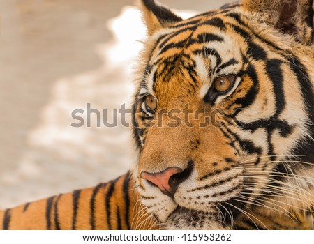 close up tiger in zoo
