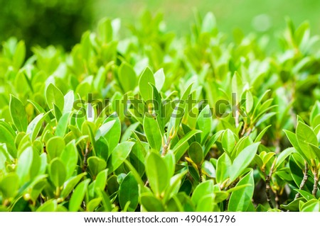 Close up to Green Bush of Leucophyllum frutescens (know as Texas barometerbush or Texas Ranger) leaves with selective focus