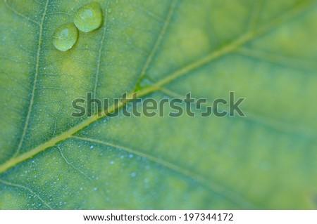 close up to green oak leaf - stock photo