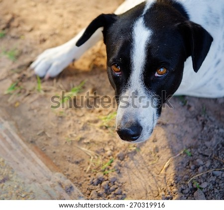 Close up to The black and white dalmatian dog 's head  no purebred laying on the floor. - stock photo