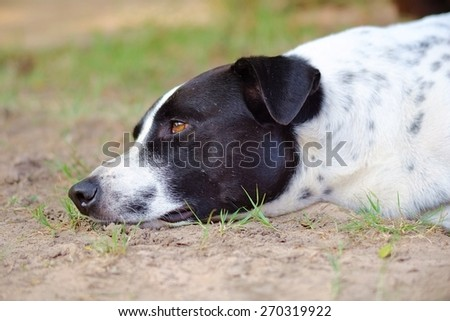 Close up to The black and white dalmatian dog 's head  no purebred laying on the floor.