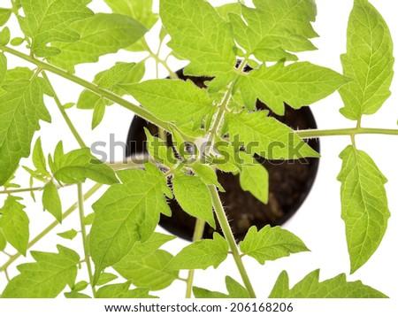close-up tomato seedlings isolated on white background  - stock photo