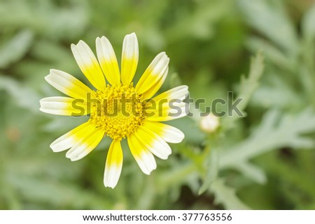 Close up tong hao flower ,Shungiku, also known as tong hao, or edible chrysanthemum,  A leaf herb commonly used in asian food - stock photo