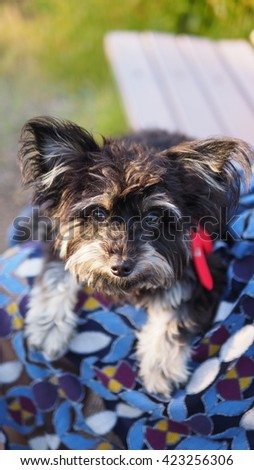 Close up Top Down Facial portrait of small Adorable Yorkshire Terrier Toy Breed Dog Laying on Owners Lap Looking Up at Camera - stock photo