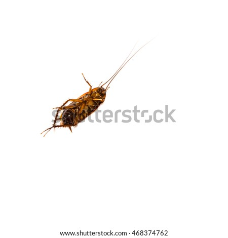 Close-up top view of a dead American cockroach or Periplaneta Americana isolated on white backgroud. Pest control concept with clipping path and copy space.