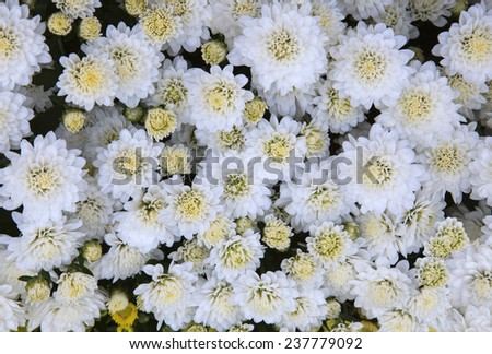 close up top view of White chrysanthemum flowers use as beautiful florist background,backdrop - stock photo