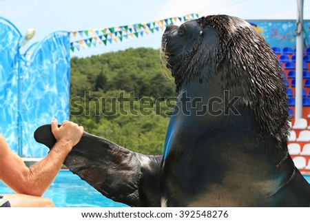 Close-up trained sea lion in dolphinariumon. Male animal trainer check force a sea lion. Hand holds fin of a mammal - stock photo