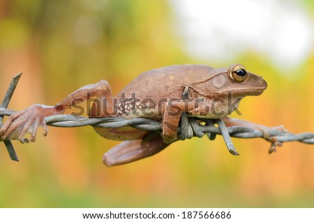 close-up tree frog perched on barbed wire - stock photo