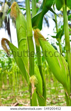 close up triple ears mature corn in Thailand - stock photo