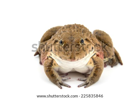 close-up Tropical Frog. on White background - stock photo
