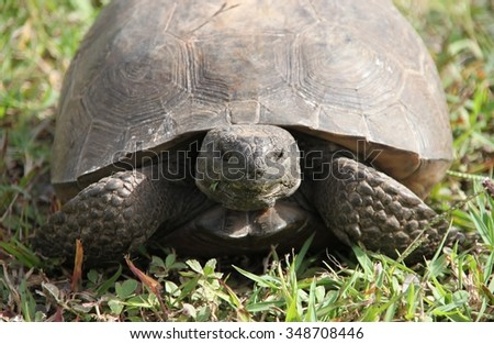Close up turtle eating grass over green background in Sebastian, Florida. USA - stock photo