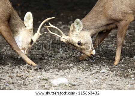 Close up two bucks fighting - stock photo