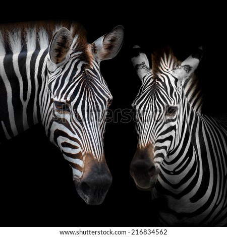 Close-up Two zebras with a black background. - stock photo