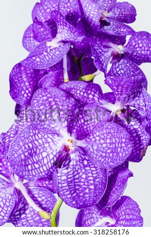close-up Vanda Orchid Wanda - Queen of orchids, purple flower on a gray background - stock photo