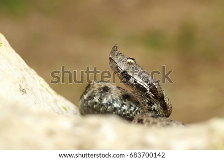 close up venomous european snake crawling on rock ( the nose horned viper, Vipera ammodytes )
