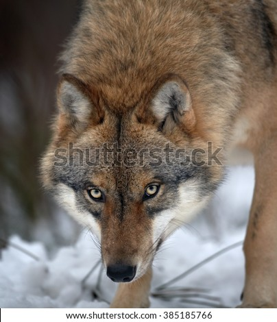 Close up vertical portrait of wolf  Eurasian wolf, Canis lupus in threatening posture in winter forest, staring directly at camera against blurred trees in background. Front view. East Europe. - stock photo