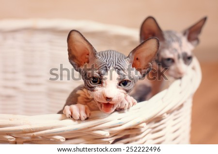 Close up Very Young Sphynx Kittens Inside a Wooden Basket on a Brown Wall Background. - stock photo