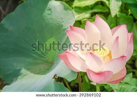 Close-up view blooming pink lotus flower (or Nelumbo nucifera Gaertn, Nelumbonaceae, sacred lotus) cultivated in water garden. Lotus is national flower of India and Vietnam. Blossom flower warm light. - stock photo