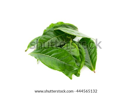 Close-up view bunch of leafy branch of fresh green tea leaves isolated on white background. Its freshly picked from home growth organic tea plantation. Food concept,  clipping path and copy space