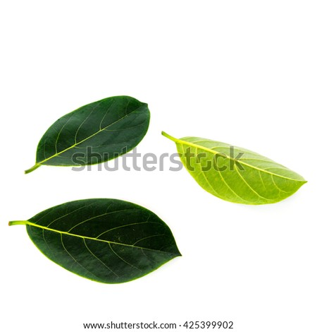 Close-up view collection of fresh green jack fruit leaves isolated on white background. - stock photo