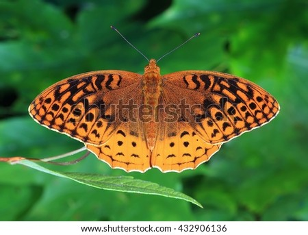 Close- up view of a beautiful Great Spangled Fritillary butterfly (Speyeria Cybele) - stock photo