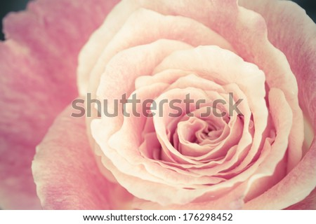 Close up view of a beautiful rose. vintage flower - stock photo