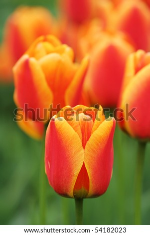 Close-up view of a beautiful tulip - stock photo