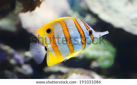 Close-up view of a Butterflyfish, Copperband butterflyfish (Chelmon rostratus) - stock photo