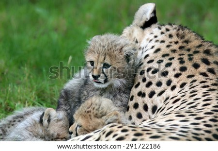 Close-up view of a Cheetah cub 02 - stock photo