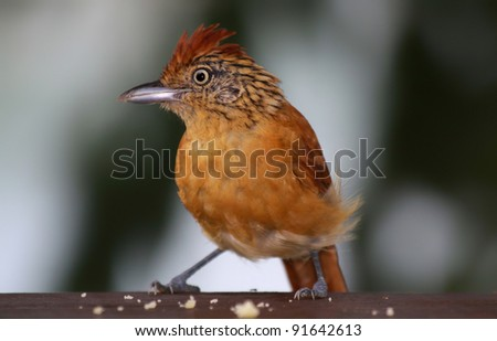 Close-up view of a female Barred Antshrike (Thamnophilus doliatus), Tobago - stock photo