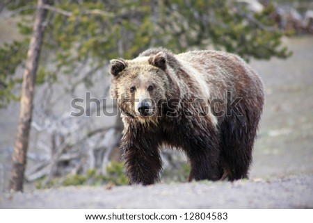 Close up view of a grizzly bear in Yellowstone National Park - stock photo