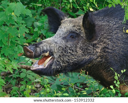 Close- up view of a huge Russian strain wild boar (Sus scrofa) preparing to charge out of the brush. - stock photo
